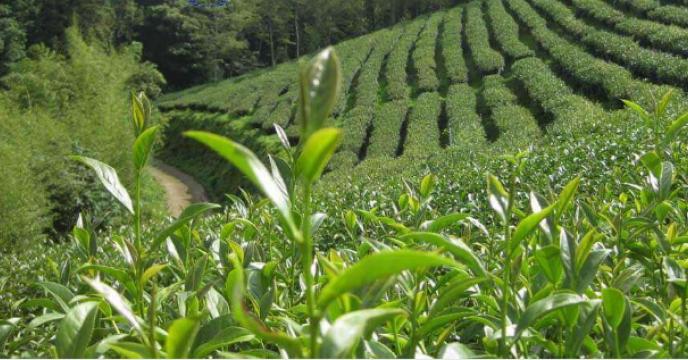 تغذیه و بهزراعی باغات چای