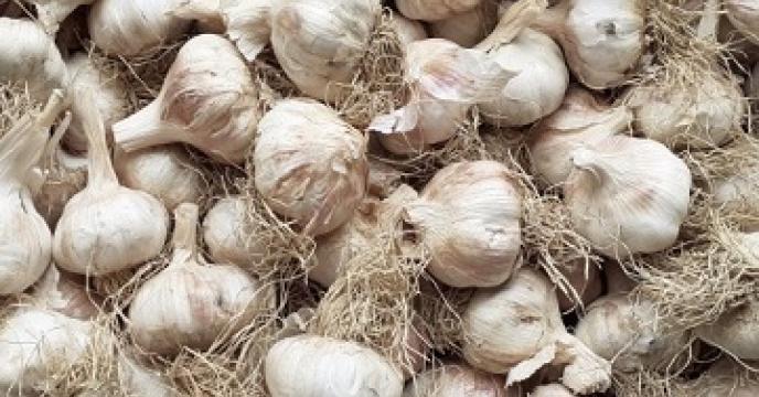 تولید بیش از 1100 تن محصول سیر در نکاء مازندران