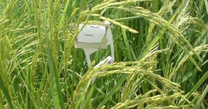 توزیع تریکو کارت برای مبارزه با ساقه خوار برنج در استان مازندران