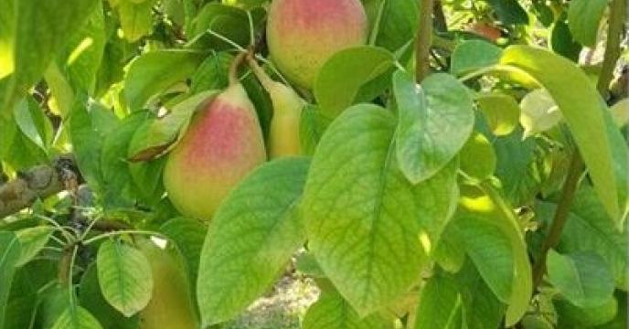 تولید 1300 تن گلابی در آمل مازندران