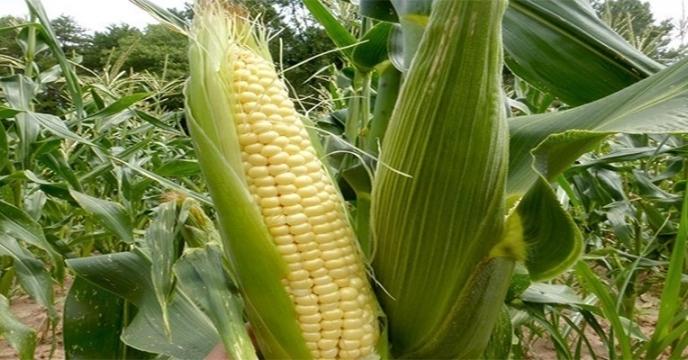 تامین کود برای مزارع ذرت در استان مازندران