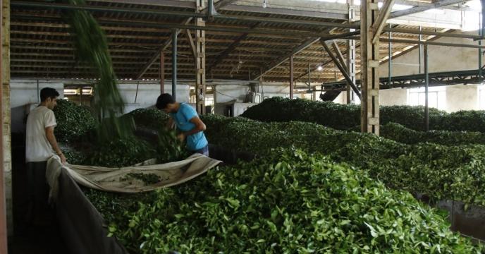 بازدید مهندس زمانی رئیس اداره روابط عمومی شرکت خدمات حمایتی کشاورزی کشوراز کارخانه چای سازی صابر چای
