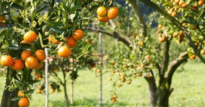 تامین کود برای 1786هکتار باغات پرتقال در بابلسر