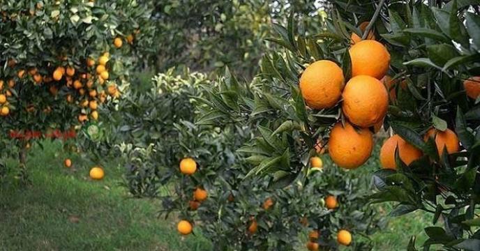 تامین کود برای تولید 2میلیون و 700 هزار تن مرکبات در مازندران