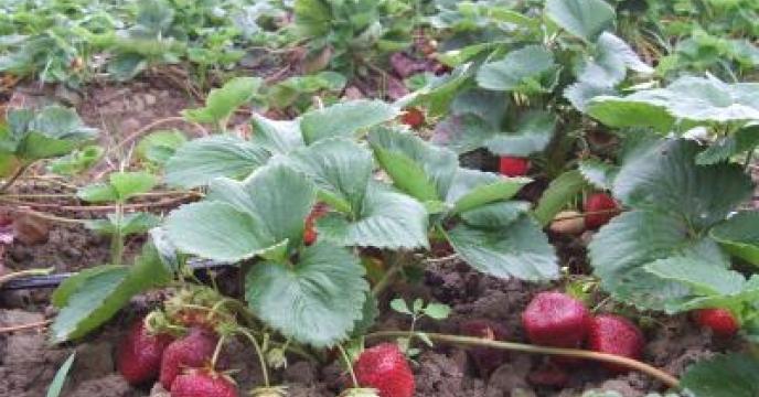 توسعه کشت محصول باغی توت فرنگی در استان مازندران