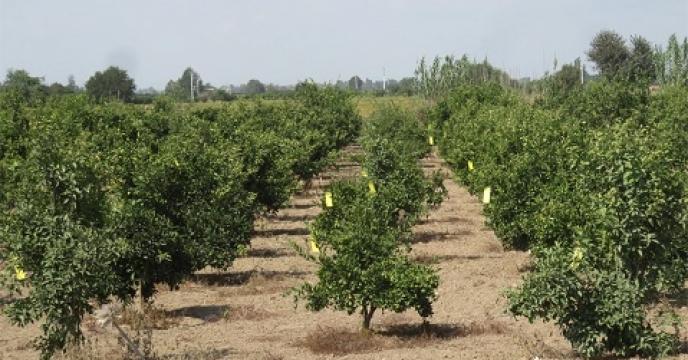 طعمه پاشی بر علیه آفت باغی در 150 هکتار از باغات بهشهر  استان مازندران