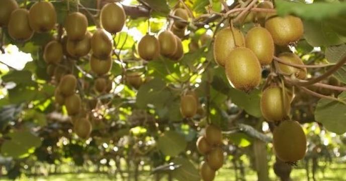 تنکابن رکوردار تولید کیوی در استان مازندران