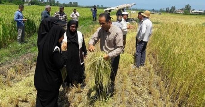 تولید 3300 تن شلتوک برنج در نوشهر استان مازندران