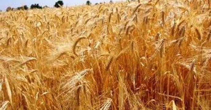 تامین و توزیع 10 هزار هکتار مزارع گندم در بهشهر استان  مازندران