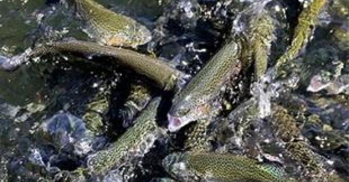 تامین و توزیع 458تن کود برای پرورش ماهی شرق ساری
