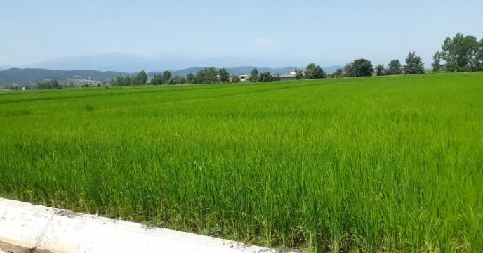 معرفی رقم جدید شلتوک برنج در مازندران