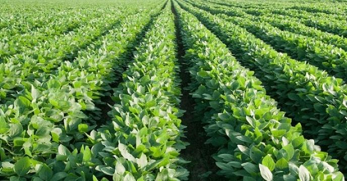 تامین کود برای 1800 هکتار مزارع سویا در نکا مازندران