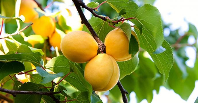 پیش بینی برداشت 500 تن زردآلو از سطح  باغات شهرستان فردوس