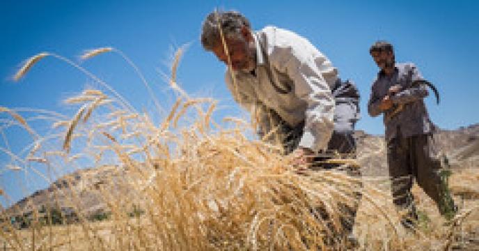 بازدید از مزارع گندم و جو در شهرستان فردیس
