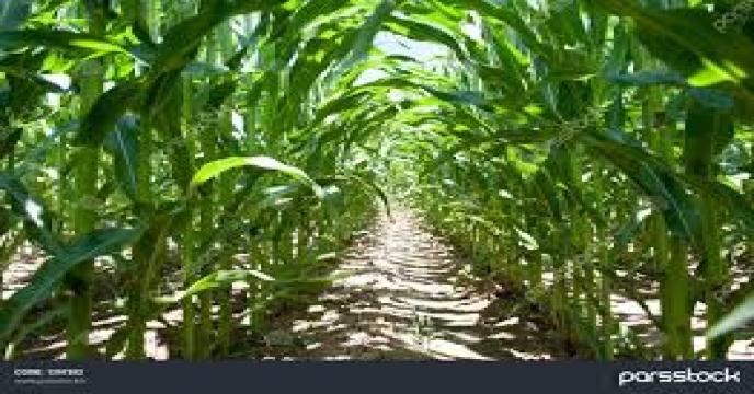 تامین کود برای مزارع ذرت استان سمنان