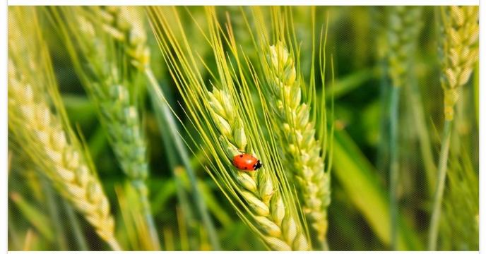تأمین کود شیمیائی ازته مورد نیاز گندم و جو در شهرستان مرودشت