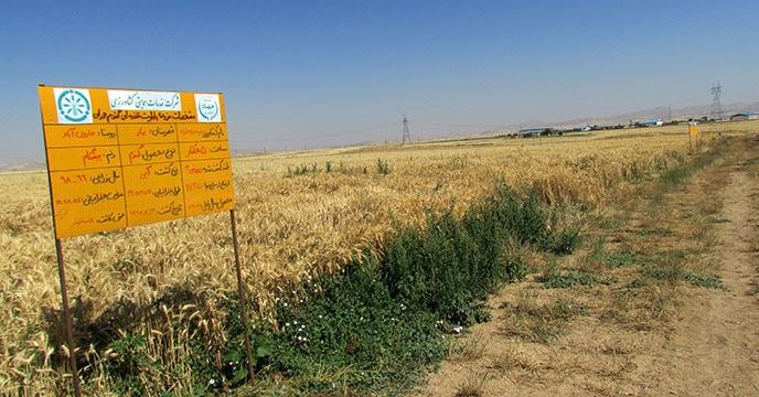 طرح پایلوت تغذیه گیاهی گندم در استان همدان