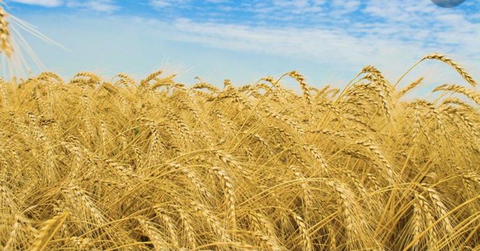 توزیع کود در سطح 17221 هکتار مزارع (گندم، جو و کلزا) در شهرستان زرین دشت در سال 99