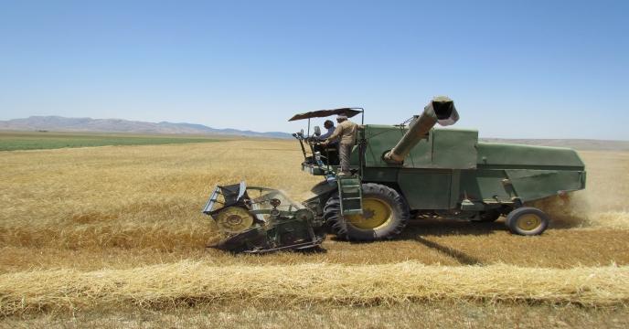 پیش بینی 117 هزار تن گندم در استان سمنان