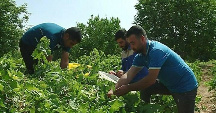 برداشت انگور از باغات شهرستان خنداب و برگزاری دومین آیین مراسم شکرگزاری