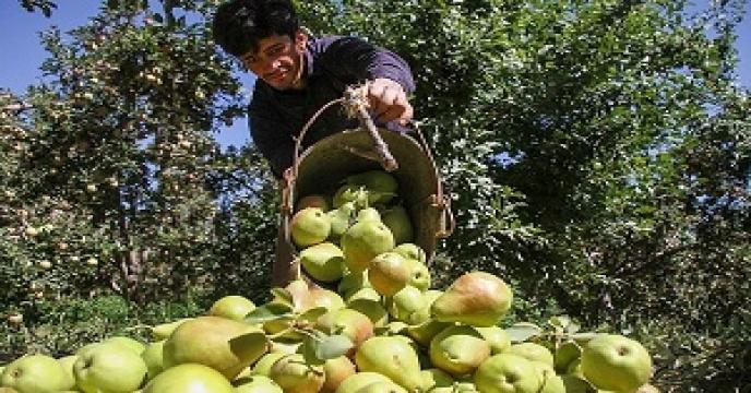 برداشت گلابی در استان سمنان