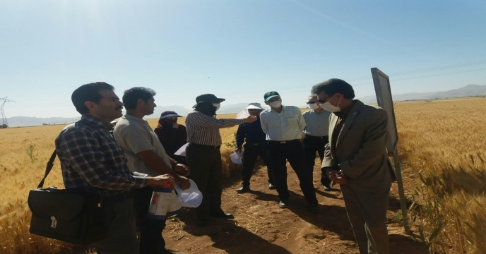 بازدید کارشناسان از مزرعه نمایشی پایلوت گندم 25 خرداد ماه 1399 - استان مرکزی