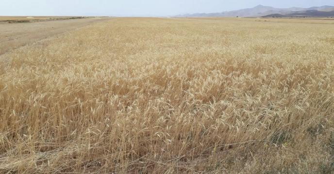 کسب رتبه نهم در تولید گندم ، استان مرکزی تیرماه 1399