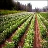 بررسی عنصر بور در تغذیه گیاهی و کاربرد ترکیبات آن در کشاورزی بعنوان کود و سم