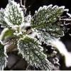 خسارت تنش سرما بر فرآیند رشد گیاهان