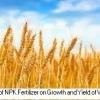 پاسخ رشد و عملکرد گندم به کود NPK