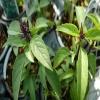 اثر شوری و پتاسیم بر تغییرات کمی و کیفی اسانس گیاه ریحان