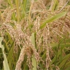 تأثیر دما بر مؤلفه های جوانه زنی ارقام برنج