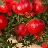 توزیع کود کشاورزی برای900 هکتار باغ انار در گلستان