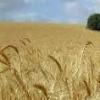 تدارک بذر جو دیم اصلاح شده برای اولین بار