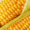 تامین و توزیع بیش از 26 هزار کیلوگرم بذور اصلاح شده دانه روغنی در مازندران