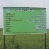 بازدید از مزارع تکثیری  و الگویی تولید بذر گندم در گلستان
