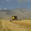 عملیات خرید بذر گندم از پیمانکاران طرف قرارداد استان هرمزگان