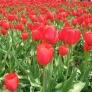 دهمين جشنواره گل لاله استان البرز
