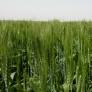 جلسه آموزشی و بازدید از مزارع الگویی گندم ، جو و کلزای استان البرز